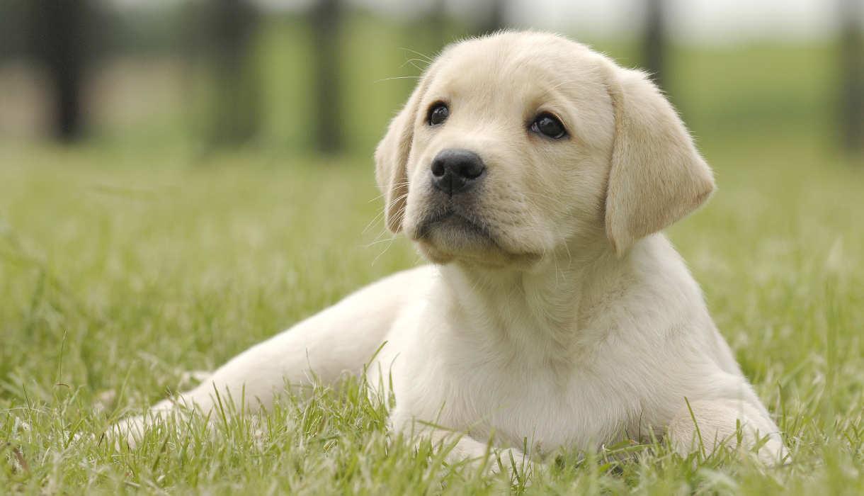 Labrador : tous nos conseils pour bien le toiletter